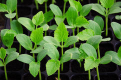 Melon seedling. In seedling tray Royalty Free Stock Photo