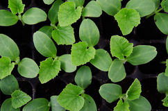 Melon seedling. In seedling tray Stock Image
