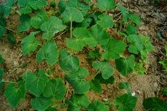 Melon seedlings. In vegetable fields Stock Photos