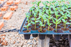 Melon sprout in black plastick tray. Are prepare to plant Royalty Free Stock Photography