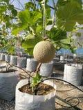 Melon tree Stock Photo