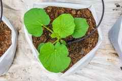 Melon tree growing. In the plastic pot with the Clay tablet Stock Photography