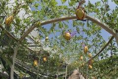 Melon växer Den organiska lantgården är det jordbruks- systemet framkallar snabbt Arkivbild
