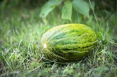 Melon vert sur l'herbe dans le jardin images stock