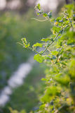 Melon vine leaves with bud. Close up macro background Royalty Free Stock Photo