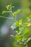 Melon vine leaves with bud. Close up macro background Royalty Free Stock Photos