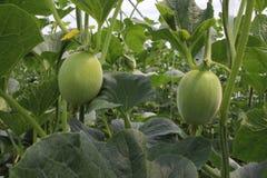 Melon w światło słoneczne szklarni Obraz Royalty Free