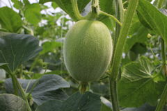 Melon w światło słoneczne szklarni Obrazy Stock