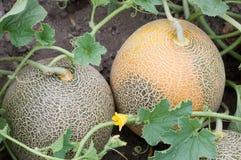 Melon w ogródzie Fotografia Royalty Free