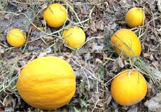 Melon yellow ripe large harvest in the land of sweet fruit Stock Image