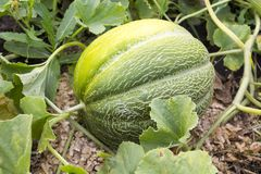 Melonallsånger på melon Arkivbilder