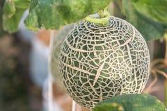 Melone angebaut in den Gewächshäusern Stockfotos