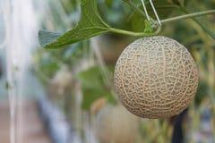 Melone angebaut in den Gewächshäusern Lizenzfreie Stockbilder