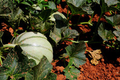Melone auf einem Bauernhofgebiet Lizenzfreies Stockbild