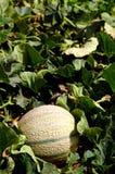 Melone auf einem Bauernhofgebiet Lizenzfreie Stockbilder