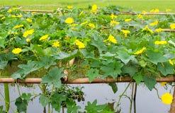 Melone blüht Gelb Lizenzfreies Stockfoto