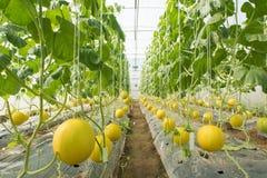 Melone che coltiva, piantagione del melone nell'alta serra dei tunnel Fotografia Stock