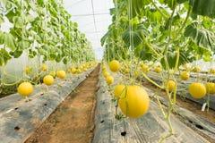 Melone che coltiva, piantagione del melone nell'alta serra dei tunnel Immagine Stock