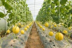 Melone che coltiva, piantagione del melone nell'alta serra dei tunnel Fotografia Stock Libera da Diritti
