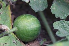 Melone del bambino Immagine Stock