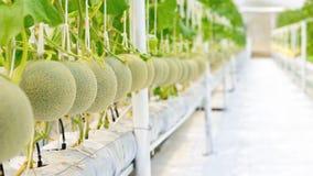Melone del cantalupo che cresce in una serra Fotografie Stock