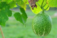 Melone della rugiada del miele Immagine Stock