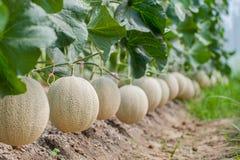 Melone di verde del Giappone in serra immagine stock libera da diritti