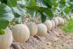 Melone di verde del Giappone in serra immagine stock