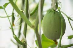 Melone dolce di Kimochi del giapponese in serra Fotografia Stock