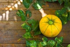 Melone fresco in azienda agricola immagini stock