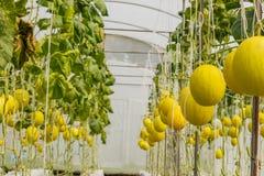 Melone giallo del cantalupo che cresce in una serra Fotografia Stock