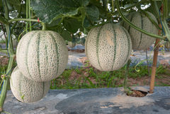 Melone giapponese Fotografie Stock Libere da Diritti