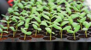 Melone, Gurkesämling in der Hülse oder Plastiktellersegment. Stockfotografie