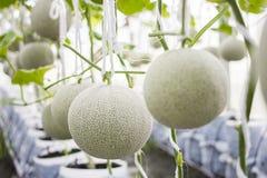 Melone pronto per la raccolta nell'azienda agricola del melone Immagini Stock