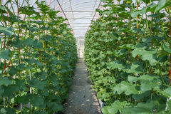 Melone in serra Fotografie Stock