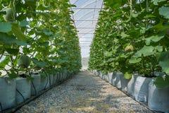 Melone in serra Fotografia Stock