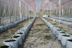Melone in serra Fotografia Stock Libera da Diritti