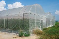 Melone in serra Fotografie Stock Libere da Diritti