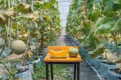 Melone in serra su agricoltura del campo Immagini Stock
