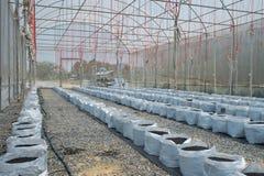 Melone in serra su agricoltura del campo Fotografia Stock
