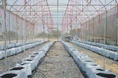 Melone in serra su agricoltura del campo Fotografie Stock