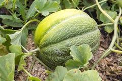 Melone singt auf der Melone Stockbilder