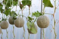 Melonen angebaut in den Gewächshäusern Stockbild