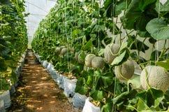 Melonenbauernhof Lizenzfreie Stockfotos
