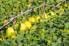 Melones en la plantación Imagen de archivo