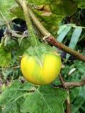 Melongena, thailändische Aubergine Lizenzfreie Stockfotos