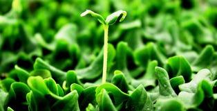 Melongkomkommer of cucumbid zaailingengerminatie Stock Foto's