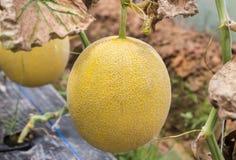 Meloni gialli di japanness o del melone o melone color giallo canarino che crescono nella serra Fotografia Stock Libera da Diritti