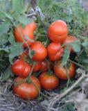 Meloni nel giardino fotografia stock libera da diritti