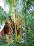 Meloni tropicali nell'albero Fotografie Stock